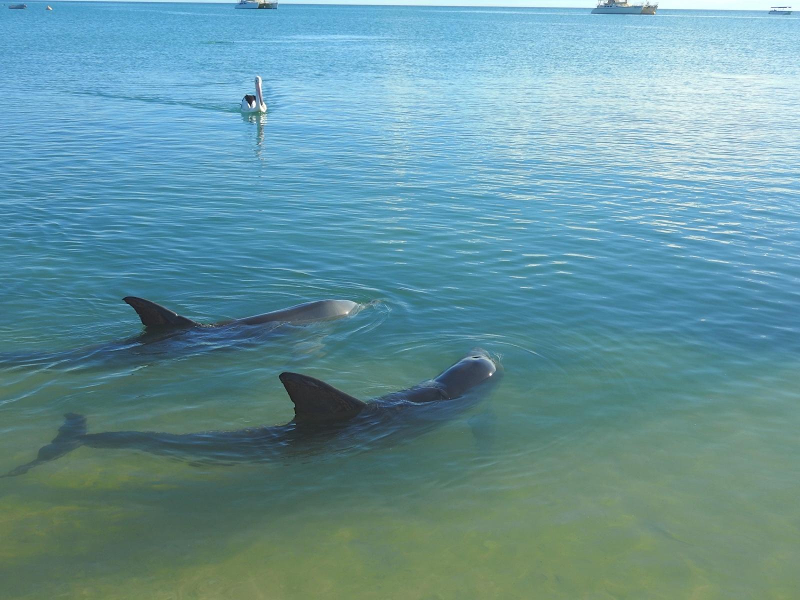 Dolphin-Pelican-Shark-bay