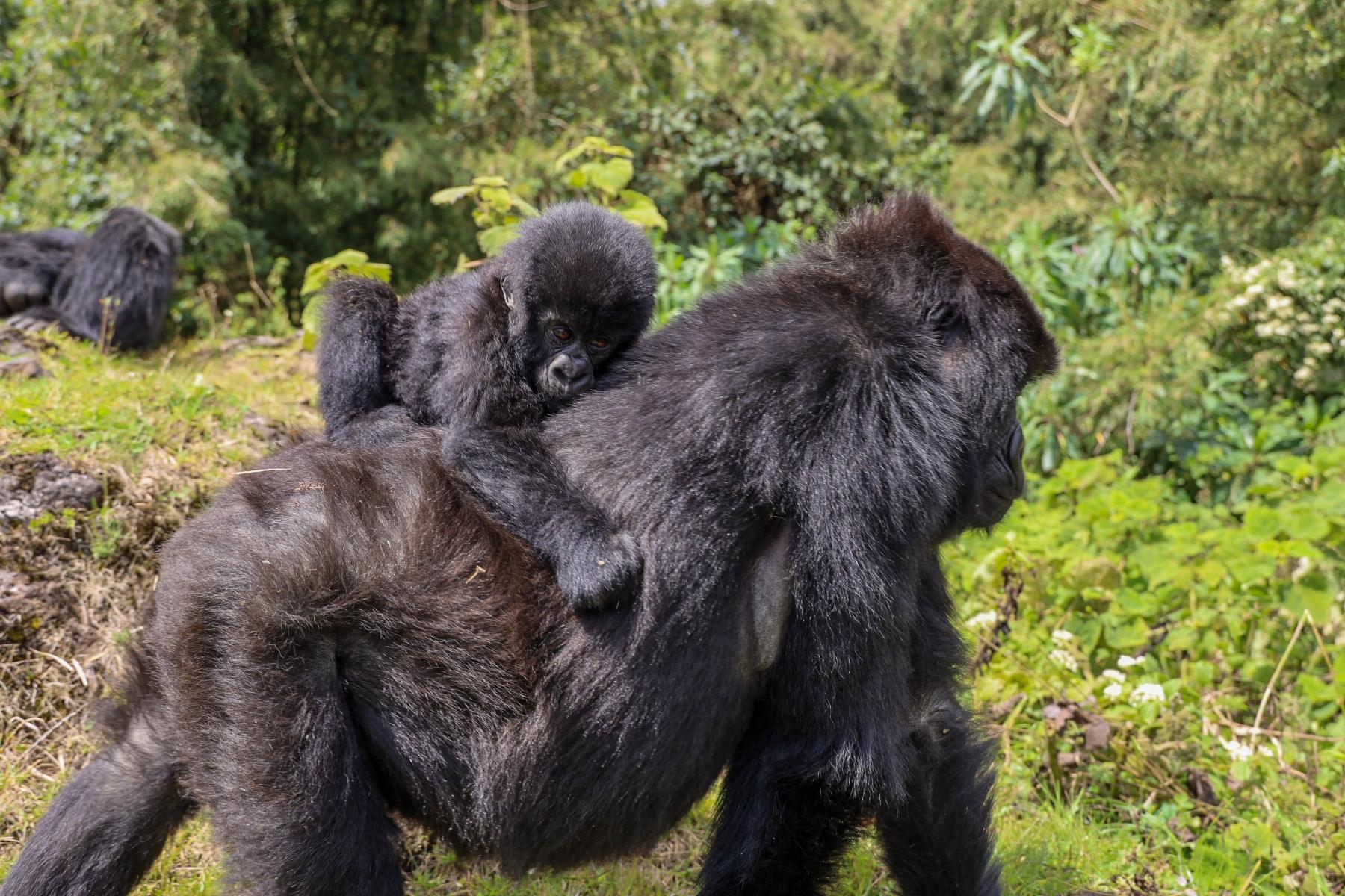 Rwanda-Gorilla-Trekking-Photo-Credit-Kate-Webster-098