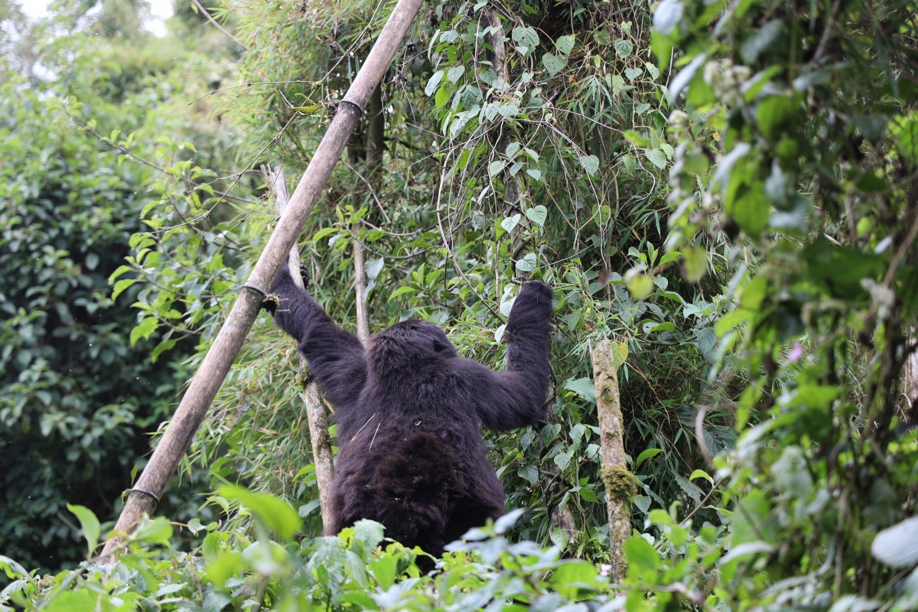 Rwanda-Gorilla-Trekking-Photo-Credit-Kate-Webster-140