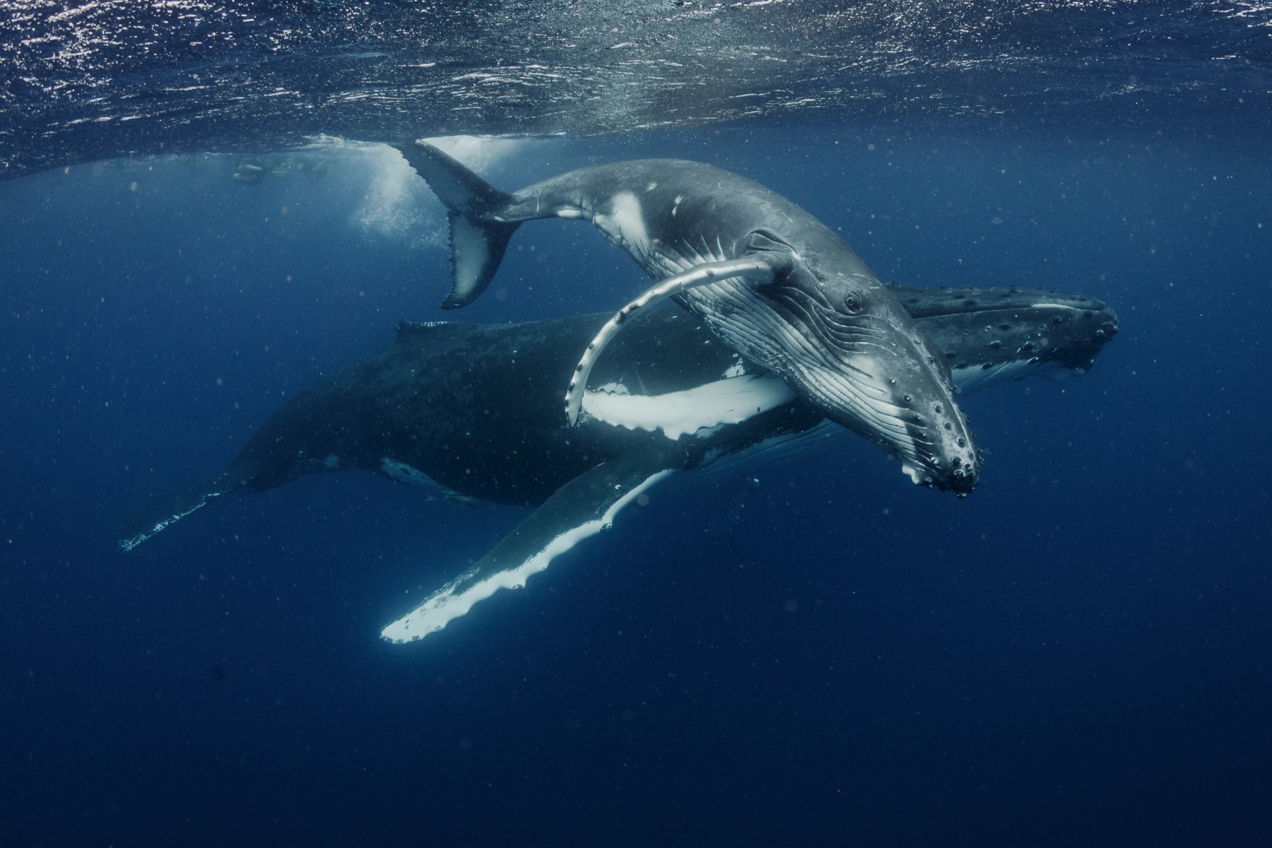 Tonga-Whale-Swim-Credit-Grant-Thomas-Photography
